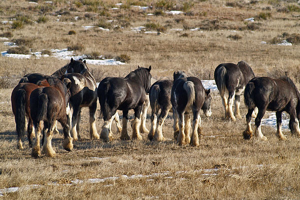 Clydesdales_June_2012_12