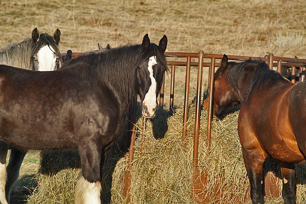 Clydesdales_June_2012_15
