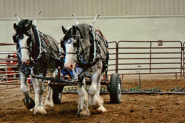 Clydesdales_June_2012_3